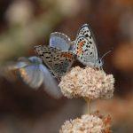 "Erigonium parvifolium and ""guests"". Photo by Ann Dalkey"