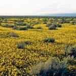 Coreopsis californica, CA desert coreopsis. Credit Margaret Malm.