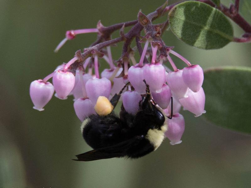 Bumblebee on manzanita. Credit Stephen Rosenthal.
