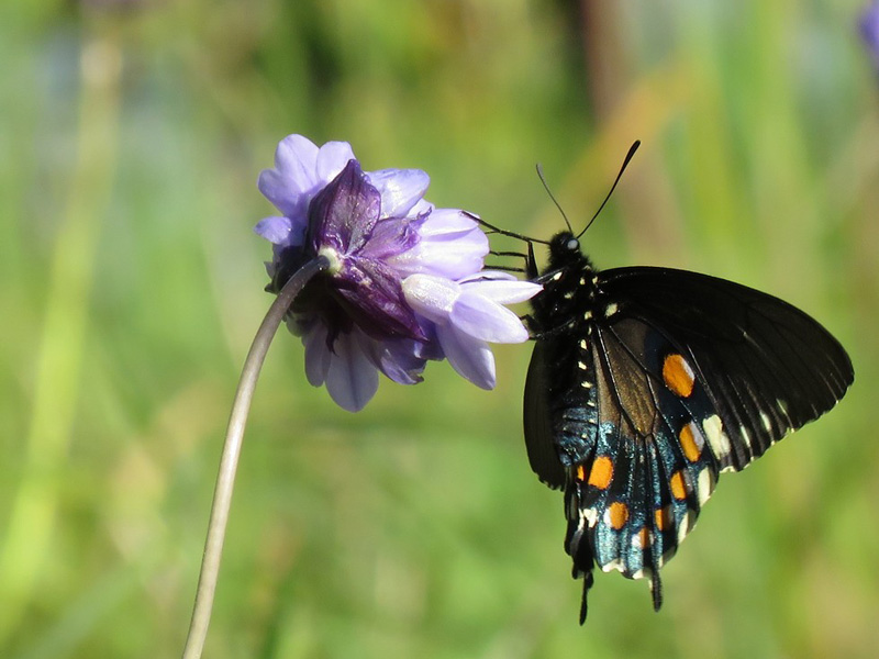 Swallowtail on Blue dicks. Photo by Jim Wadsworth.