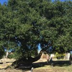 Oaks in the Olmstead Historic Area