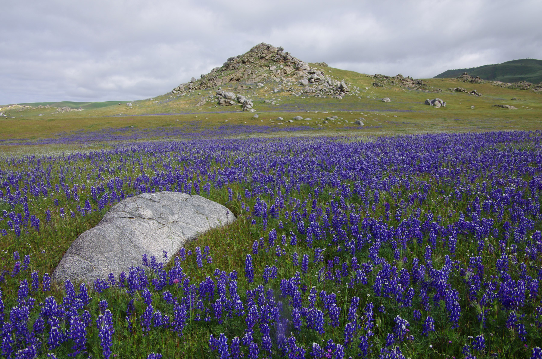 A dense field of Lupinus nanus (sky lupine) adjacent to the lower slopes of the Tejon Hills. Credit Nick Jensen.