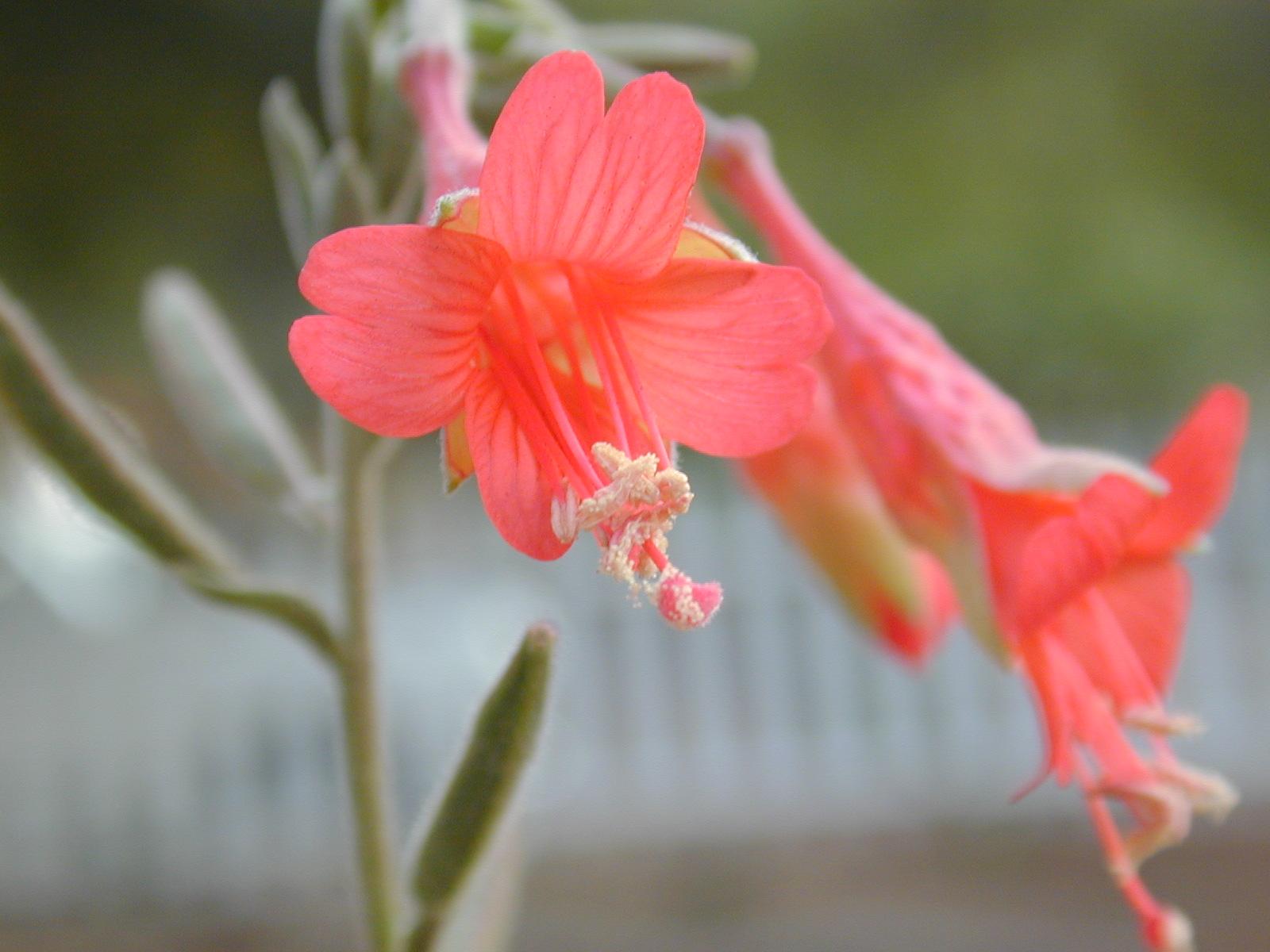 Catalina fuchsia Photo: Ken Gilliand