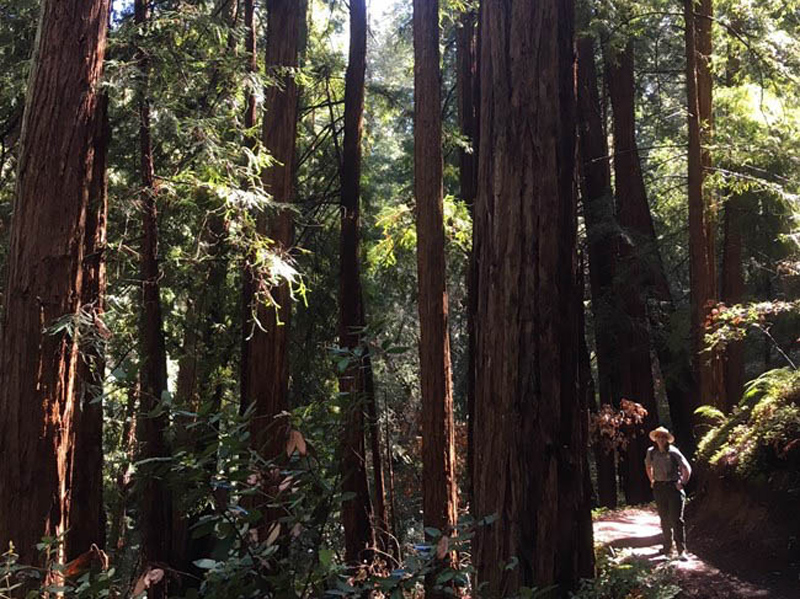 Coast Redwood Forest